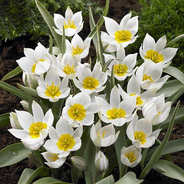 Bilde av Botanisk tulipan Polychroma - 8 løk