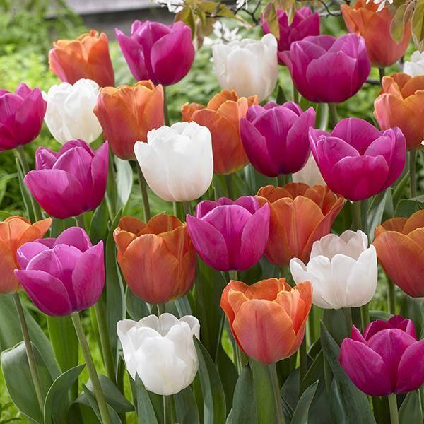 Bilde av Triumph tulipaner i mix - 20 løk
