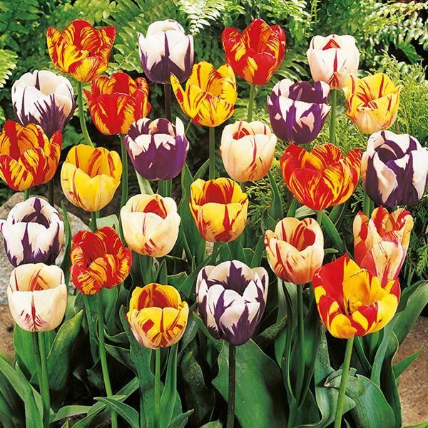 Bilde av Rembrandt-tulipaner - 20 løk