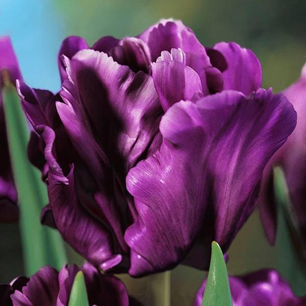 Bilde av Tulipan 'Blue Parrot' - Nyhet! - 10 løk