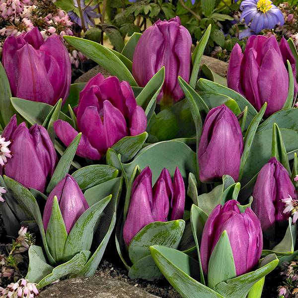 Bilde av Tulipan Baby Blue - 8 løk