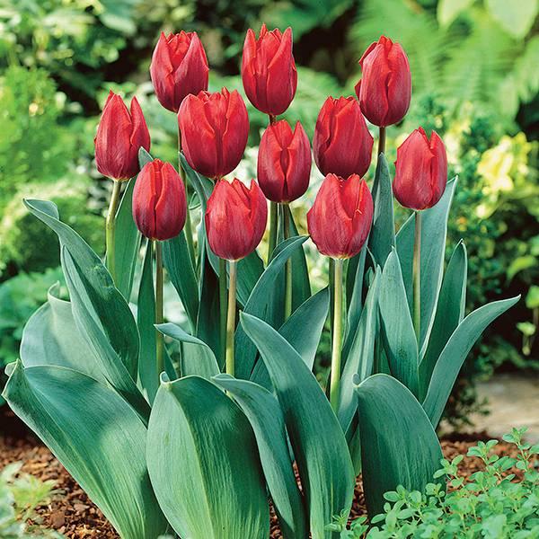 Bilde av Tulipan Couleur Cardinal - 8 løk