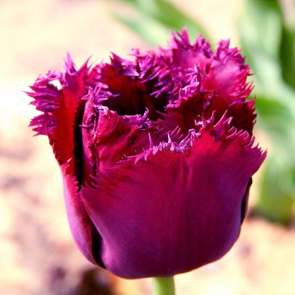 Bilde av Tulipan Curly Sue - 8 løk