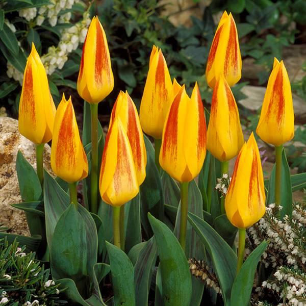 Bilde av Tulipan Giuseppe Verdi - 10 løk - Nyhet!
