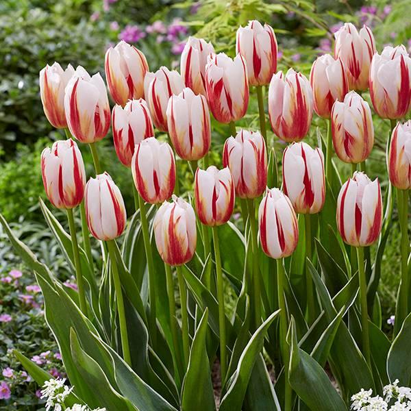 Bilde av Tulipan Happy Generation - 10 løk - Nyhet!