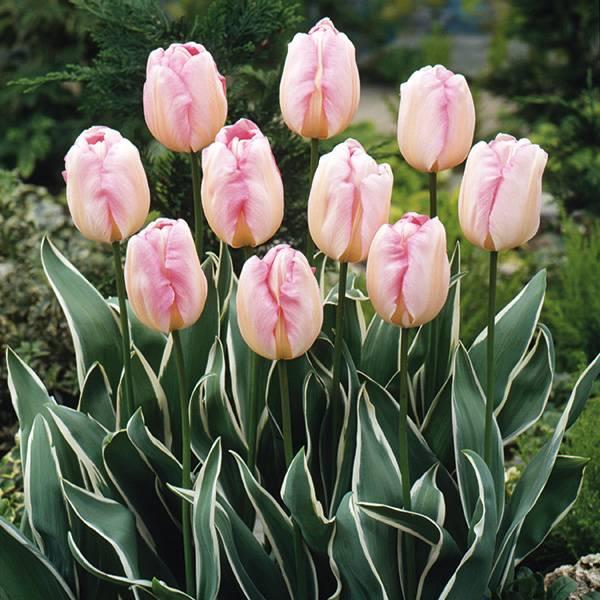 Bilde av Tulipan New Design - 8 løk