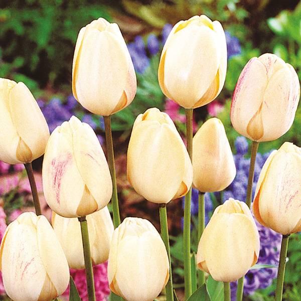 Bilde av Tulipan Ivory Floradale - 8 løk