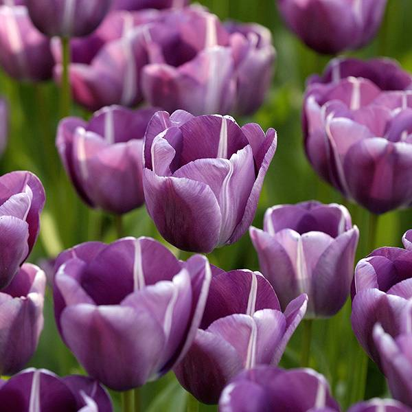 Bilde av Tulipan Andre Rieu - 8 løk