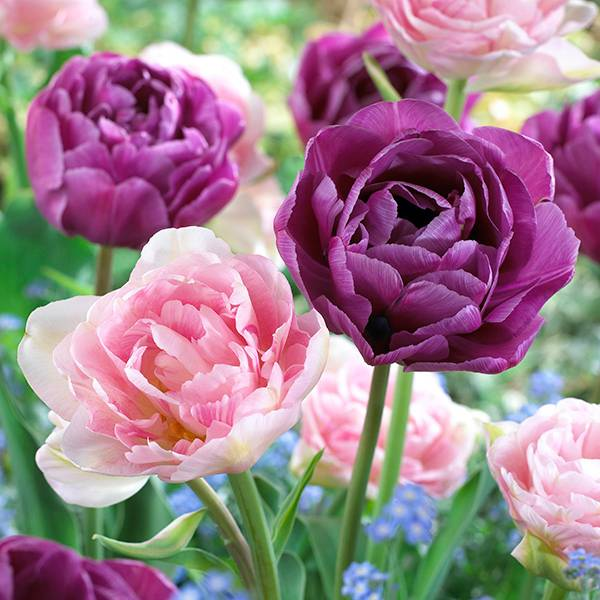 Bilde av Doble tulipaner Angelique og Blue Diamond - 20