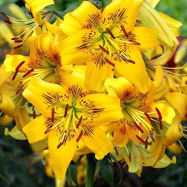 Bilde av Lilje Yellow Bruse – Nyhet! - 3 liljeløk
